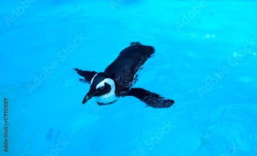 Fotobehang Pinguin 泳ぐペンギン