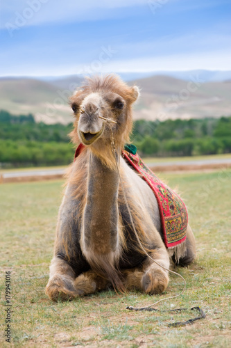 Fotobehang Kameel smiling camel