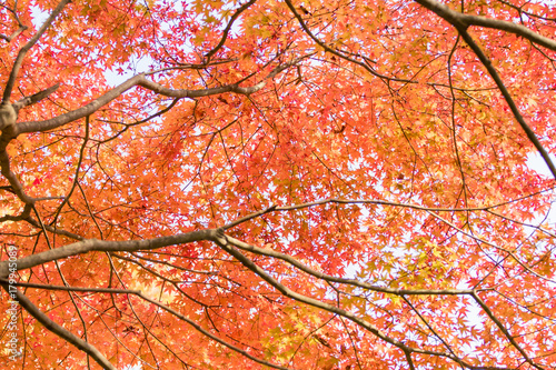 Fotobehang Koraal 紅葉の風景