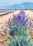 Field of young lavender flowering plants. Blue sky at the background. - 179949030