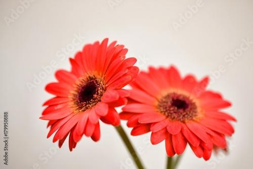 Fotobehang Gerbera ガーベラの花、白背景