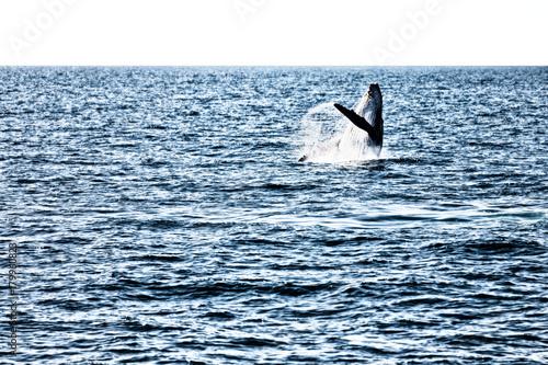 virage de baleine in australia a free whale in the ocean voltagebd Gallery