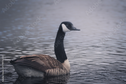 Fotobehang Canada Male canadian goose swimming in the morning fog