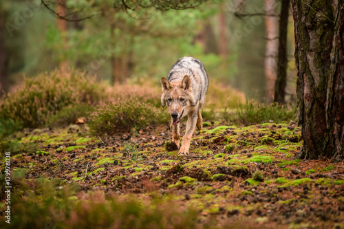 Poster The gray wolf or grey wolf (Canis lupus) standing on a rock