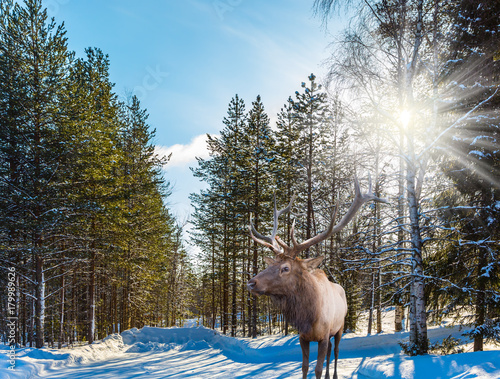Reindeer on an edge of the forest