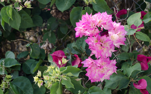 Fotobehang Azalea Bougainvillea is a curly shrub that is usually used to decorate flowerbeds near hotels, shops, park areas.