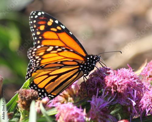 Fotobehang Vlinder monarch butterfly