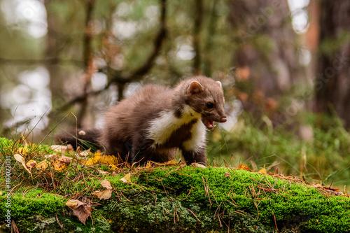 Poster Pine marten rare species in natural habitat (Martes martes)