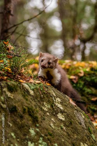 Fotobehang Panda Pine marten rare species in natural habitat (Martes martes)