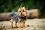 Yorkshire Terrier dog outdoor portrait on beach - 180022414