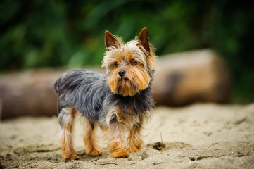 Yorkshire Terrier dog outdoor portrait on beach
