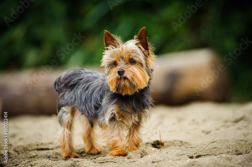 Yorkshire Terrier dog outdoor portrait on beach Poster