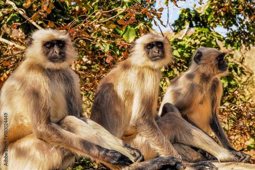 Fotobehang Aap india monkey