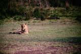 Female lion in the wild in Africa.