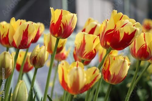 Fotobehang Tulpen RED AND YELLOW TULIPS