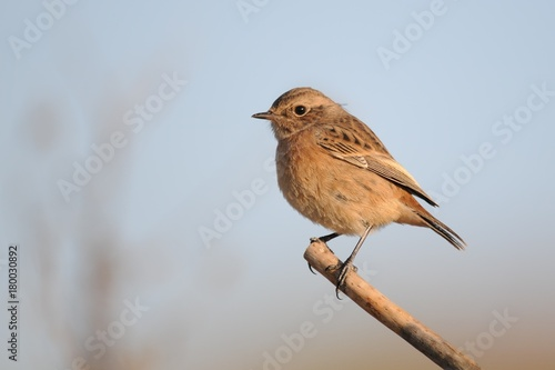 stonechat on a beautiful background