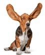 Basset Hound with Ears Up
