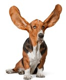 Basset Hound with Ea...