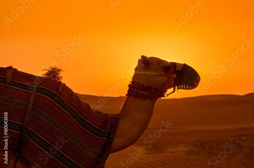 Fotobehang Kameel Camel in the desert