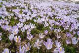 meadow in the foothills full of crocuses