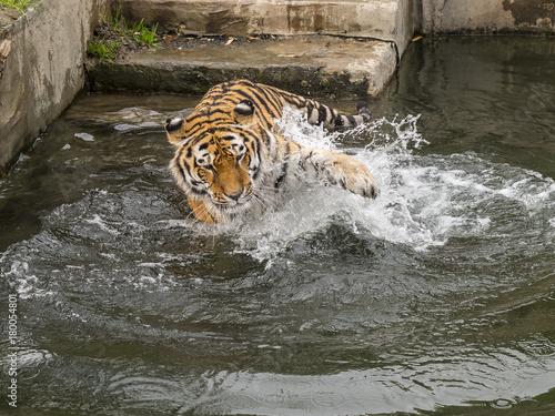 tiger plays in the water Poster