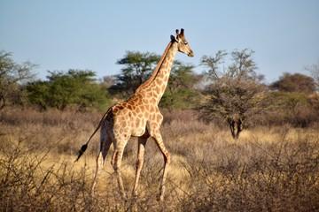 Giraffen - Afrika - Wüste