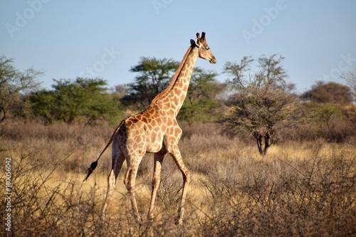 Fototapeta Giraffen - Afrika - Wüste