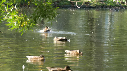 Ducks on water in city park pond. Ducks are swimming in a pond in a city park. ducks swim in a city Park