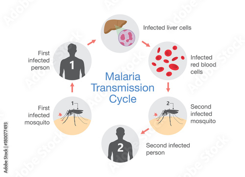 Illustration showing Malaria transmission cycle. Step of infections in people with mosquito. - 180077493