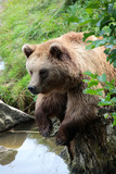 Braunbär von vorne, Ursus arctos