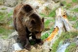 Braunbär riecht an altem Holz, Ursus arctos