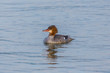 one natural female common merganser (mergus merganser) bird swimming