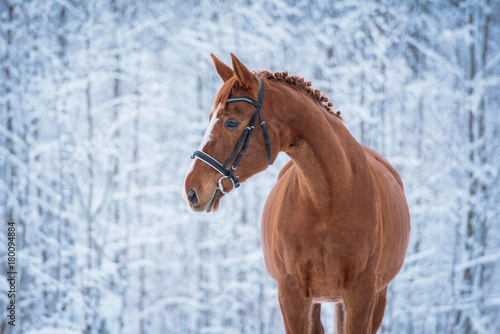 Beautiful red horse in winter