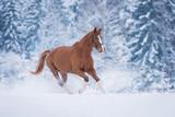 Beautiful stallion running gallop in winter