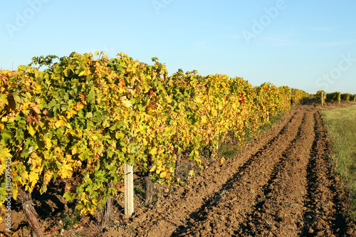 Staande foto Wijngaard Vineyard with colorful leaves autumn season landscape