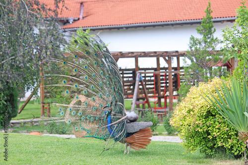Fotobehang Pauw peacock on display