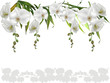 isolated white large orchid flower stripe