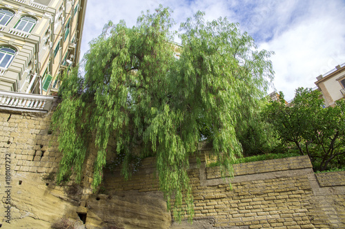 Dettaglio delle foglie di un salice piangente. I rami dell'albero arrivano fino a sotto il muro.