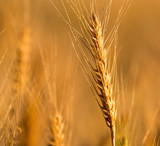 yellow ears of wheat at sunset in nature - 180108621