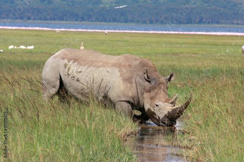 Breitmaulnashorn  geht durch Sumpflandschaft, Naivashasee, Kenia, Ostafrika, Cer Poster