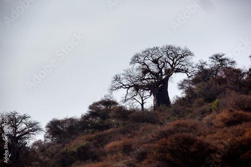 Aluminium Baobab Baobabbaum (Adansonia digitata) - Afrikanischer Affenbrotbaum - Tansania