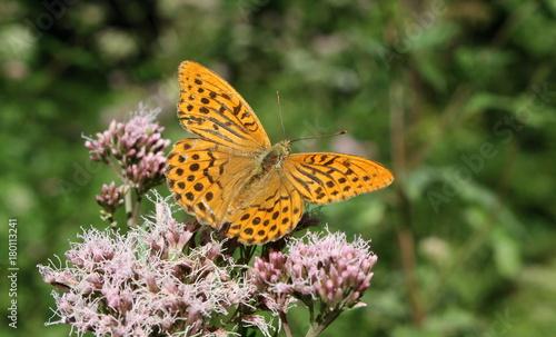 Aluminium Vlinder Schmetterling / Kaisermantel