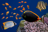 Tropical fish and Hard corals in the Red Sea, Egypt - 180114688