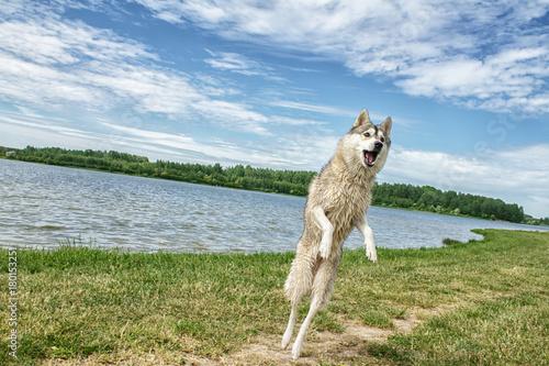 Aluminium Wolf Dog husky in nature