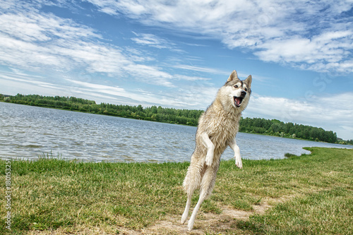 Dog husky in nature Poster