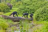 Schimpansen auf der Pirsch - 180159667