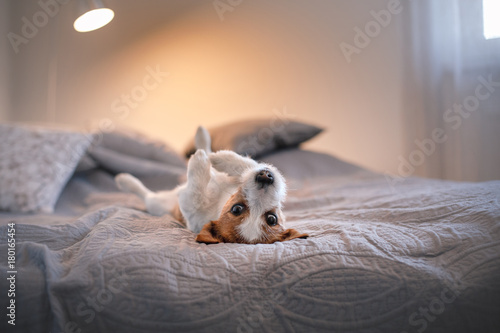 Dog Jack Russell Terrier lying on the bed Poster