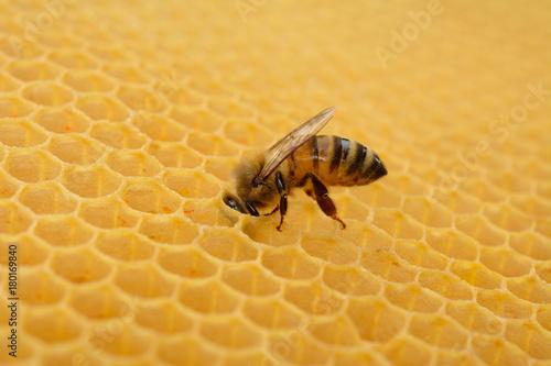 Fotobehang Bee Ape operaia sul favo