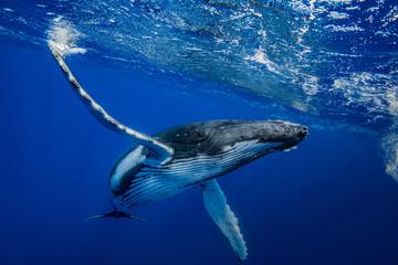 baleine à bosse © romain