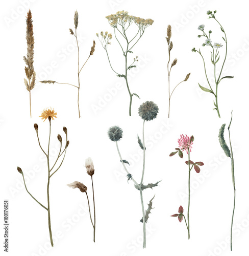 Set of watercolor meadow plants isolated on white background. Hand drawn illustration. Field. Botanical flowers. Grass. - 180176051